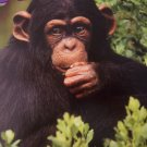 Menagerie 100 Piece Animal Puzzle ~ Baby Chimp