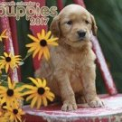 Puppies 2017 Wall Calendar (16 Month)
