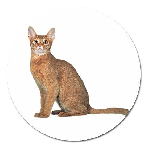 Abyssinian Cat Pet Lover Magnet Round 12168405