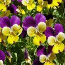 JOHNNY JUMP UP - VIOLA - FLOWER SEEDS