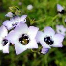 BIRD'S EYES - GILIA TRICOLOR 100 FRESH SEEDS