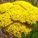 GOLD YARROW 100 FRESH SEEDS