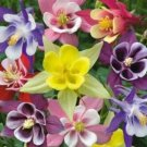 COLUMBINE MCKANA MIX 50 FRESH SEEDS