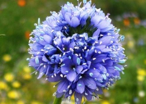 GLOBE GILIA SEEDS BLUE 100 FRESH SEEDS