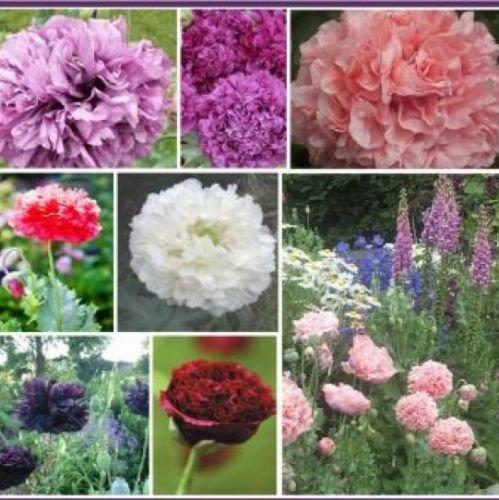 100 DOUBLE POPPY PEONY MIX FLOWER SEEDS