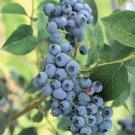 50+ HIGHBUSH BLUEBERRY PRE-STRATIFIED SEEDS