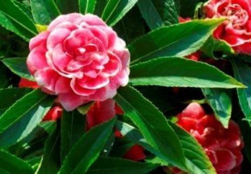IMPATIENS BUSH FLOWER SEEDS