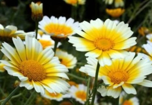 GARLAND DAISY FLOWERS 100 FRESH SEEDS