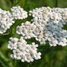 WHITE YARROW PERENNIAL FLOWER 200 FRESH SEEDS