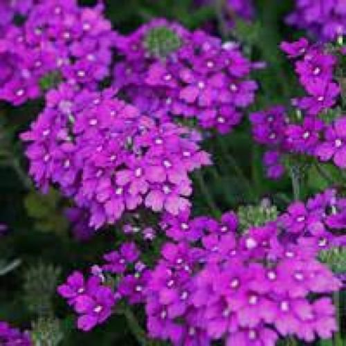 MOSS VERBENA FLOWER 100 FRESH SEEDS