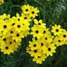 COREOPSIS GOLDEN WAVE TICKSEED 100 FRESH SEEDS