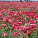 CARMINE KING CALIFORNIA POPPY 100 FRESH FLOWER SEEDS