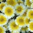 TIDY TIPS FLOWER 100 FRESH SEEDS