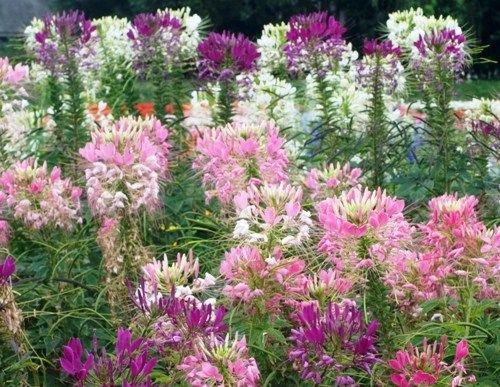 100 FRESH SPIDER PLANT MIXED FLOWER SEEDS