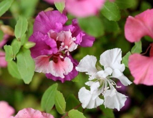 CLARKIA FLOWER SEEDS 100 FRESH SEEDS  PINK/LAVENDER/WHITE