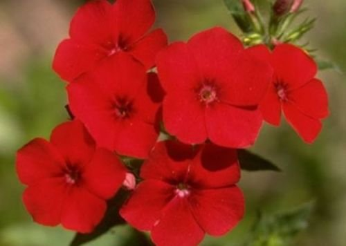 PHLOX ANNUAL RED 50 FRESH SEEDS