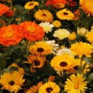 CALENDULA PACIFIC BEAUTY MIX 50 FRESH SEEDS