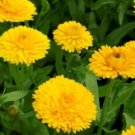 CALENDULA GOLDEN EMPEROR 50 FRESH SEEDS