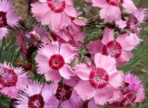 COTTAGE PINKS SEEDS 50 FRESH SEEDS