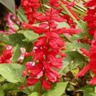 SCARLET SAGE-SALVIA  50 FRESH SEEDS
