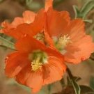 SCARLET GLOBE MALLOW RARE 15 FRESH SEEDS  PRARIE MALLOW