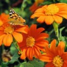 MEXICAN TORCH SUNFLOWER 25 FRESH SEEDS