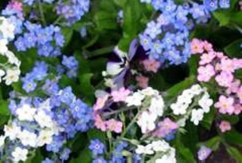 FORGET ME NOT FLOWER SEEDS MIXED COLORS 100 FRESH SEEDS