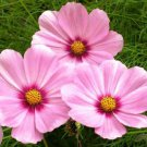 COSMOS GLORIA FLOWER 30 FRESH SEEDS