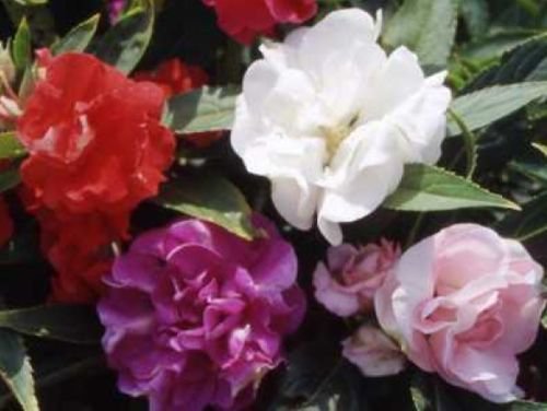 IMPATIENS TOM THUMB MIX FLOWER SEEDS