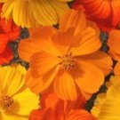 COSMOS BRIGHT LIGHTS MIX 30 FRESH FLOWER SEEDS