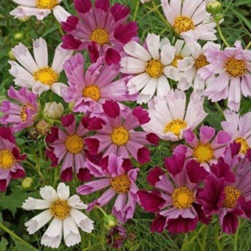 COSMOS SEASHELLS 30 FRESH FLOWER SEEDS
