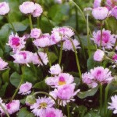 ENGLISH DAISY FLOWERS 200 FRESH SEEDS
