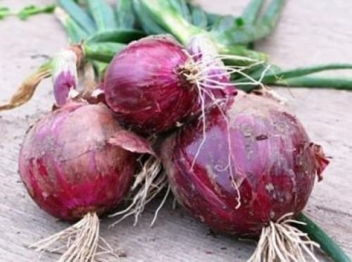 25 FRESH RED BURGANDY ONION SEEDS