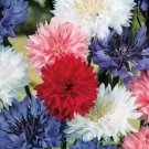 "100 FRESH BACHELOR BUTTON ""POLKA DOT"" SEEDS DWARF MIX CORNFLOWER"