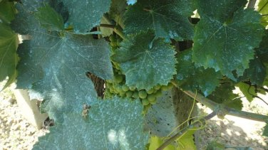 Bordeaux mixture � ready mix for 20L, fungicide, downy mildew - enough for 20L