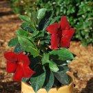 Mandevilla Crimson aka Rocktrumpet Live Plant - Indoor Live Plant Fit 1GAL Pot