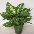Camille Dieffenbachia aka Dumbcane Live Plant - Indoor Live Plant Fit 1GAL Pot