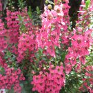 Angelonia Pink aka Angelonia angustifolia Live Plant - Indoor Live Plant Fit 1QRT Pot