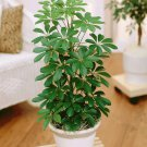 Schefflera Green aka Umbrella plant Live Plant - Indoor Live Plant Fit 1QRT Pot