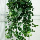 Cordatum Philodendron aka Heart Leaf Philodendron Live Plant - Indoor Live Plant Fit 1QRT Pot