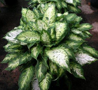 Dieffenbachia Camouflage aka Dumbcane Live Plant - Indoor Live Plant Fit 1QRT Pot