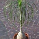 Ponytail Palm aka Elephant's Foot, Beaucarnea Recurvata Live Plant - Indoor Live Plant Fit 1QRT Pot