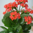 Kalanchoe aka Kalanchoe Blossfeldiana Live Plant - Indoor Live Plant Fit 4IN Pot