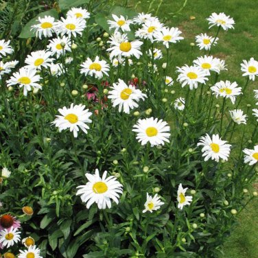 "CHRYSANTHEMUM PALUDOSUM WHITE Live Plants Perennual Plants - 24 Live Plants From 2"""" Plug"