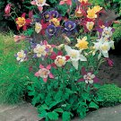 "COLUMBINE MCKANA GIANT MIX Live Plants Perennual Plants - 24 Live Plants From 2"""" Plug"