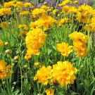 "COREOPSIS EARLY SUNRISE Live Plants Perennual Plants - 24 Live Plants From 2"""" Plug"