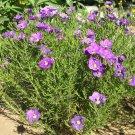 "NIEREMBERGIA PURPLE ROBE Live Plants Perennual Plants - 24 Live Plants From 2"""" Plug"