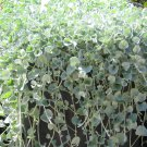 "DICHONDRA Live Plants Groundcover Plant - 24 Live Plants From 2"""" Plug"