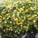"HYPERICUM calycinum Live Plants Groundcover Plant - 24 Live Plants From 2"""" Plug"