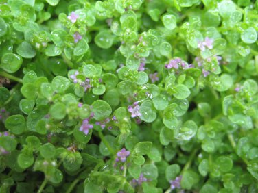"MINT CORSICA Live Plants Groundcover Plant - 24 Live Plants From 2"""" Plug"